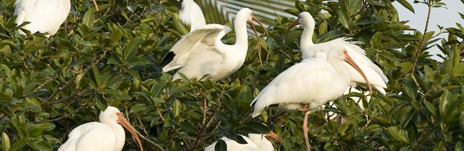 b-ibis